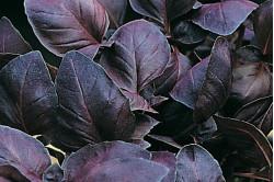 Basilikum rød (Basil Genovese)