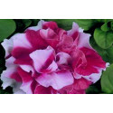 Petunia F1 Duo Red & White (Multiflora)