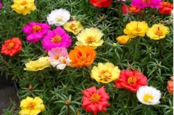 Solportulak bl. farver (Portulaca)