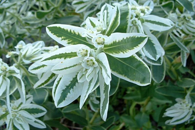 Stribevortemælk (Euphorbia marginata)