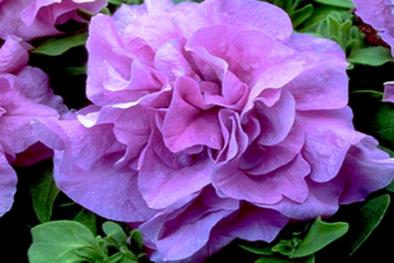 Petunia F1 Lavender (Multiflora)