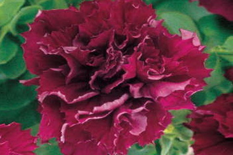 Petunia F1 Duo Burgundy (Multiflora)