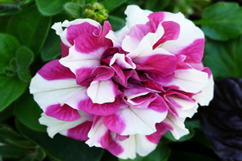 Petunia F1 Duo Rose & White (Multiflora)