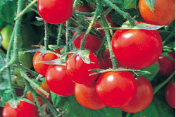 Cherrytomat Tumbling Tom Red (Solanum lycopersicum)