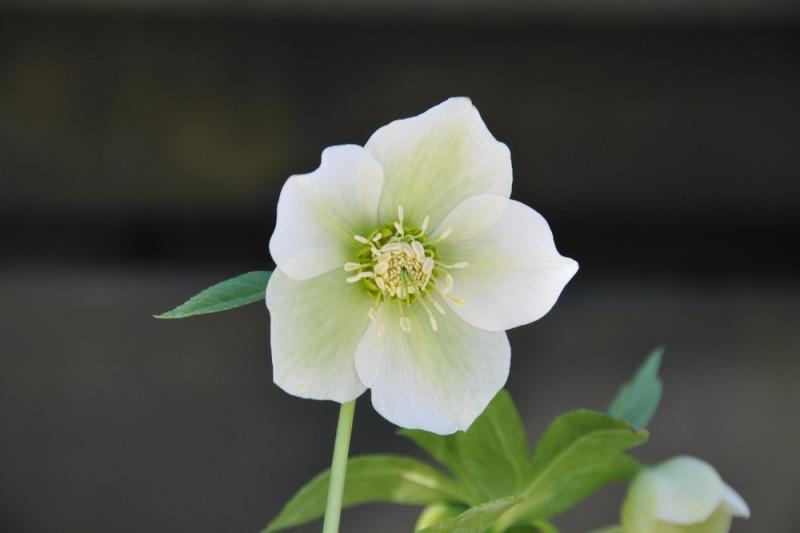 Julerose - hvid (Helleborus Orientalis)