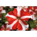 Petunia F1 Tritunia Red Star (Grandiflora)