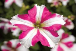 Petunia F1 Tritunia Rose Star (Grandiflora)