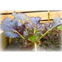 Mizuna Red Knight F1 (Brassica rapa var. japonica)