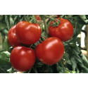 Tomat Craigella (Lycopersicon lycopersicum)