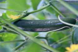 Agurk F1 Burpless Tasty Green (Cucumber)