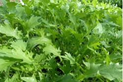 Mibuna Japanese Greens (Brassica rapa var. Japonica)