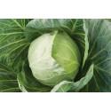 Hvidkål (Cabbage)