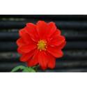Dahlia (Dahlia variabilis)