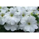 Petunia F1 Grandi White (Petunia Grandiflora)