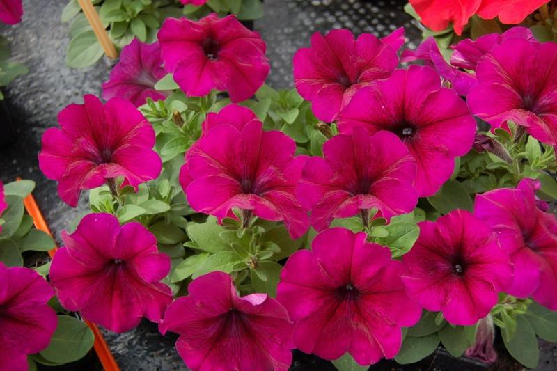 Petunia F1 Grandi Burgundy (Petunia Grandiflora)