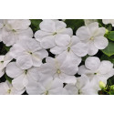Flittiglise F1 Lollipop White (Impatiens walleriana)