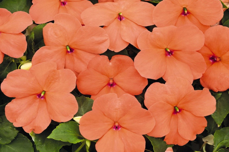 Flittiglise F1 Lollipop Peach Salmon (Impatiens walleriana)
