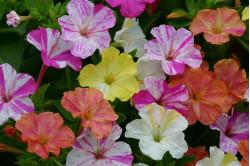 Vidunderblomst Striped - blandede farver (Mirabilis jalapa)