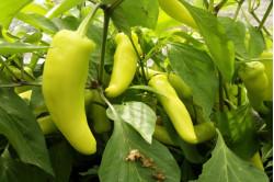 Chili Hungarian Hot Wax (Capsicum annuum)