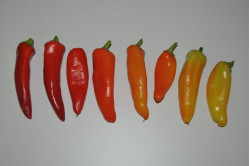 Chili Hungarian Hot Wax (Capsicum annuum)