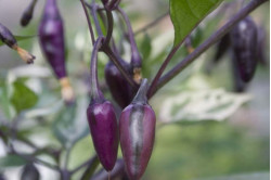 Chili Purple Tiger (Capsicum annuum)