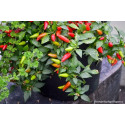 Chili Firecracker (Capsicum Annuum)