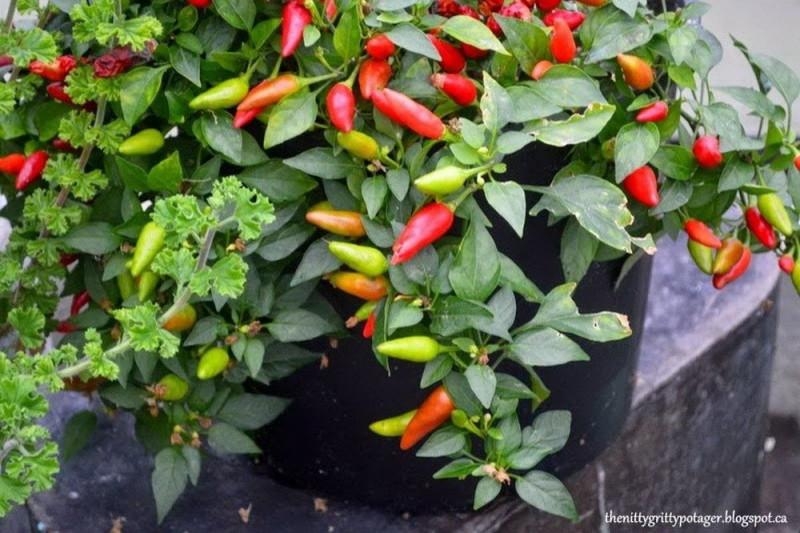 Chili Firecracker (Capsicum Annuum)