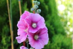 Stokrose - Rosa (Alcea rosea)