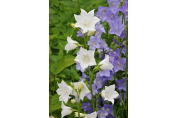 Klokkeblomst – hvid - høj (Campanula persicifolia)