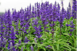 Salvia Superba Blue Queen (Salvia superba)