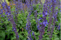 Salvie Big Blue (Salvia longispicata x farinacea)