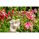 Stokrose Summer Carnival bl. farver (Alcea rosea)