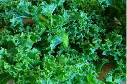 Grønkål Dwarf Green Curled (Brassica oleracea var. sabellica )
