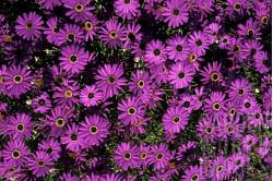 Dukkekrave bl. farver (Brachycome iberidifolia)