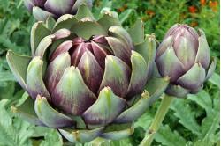 Artiskok Violet de Provence (Cynara scolymus)