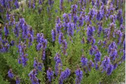Ægte Isop Caeruleus Nectar Blue (Hyssopus officinalis)