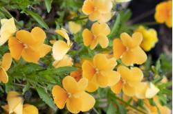 Hornviol Abrikos (Viola cornuta)