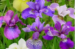 Sibirisk iris - blandede farver (Iris sibirica)