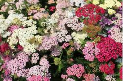 Røllike Colorado - blandede farver (chillea millefolium)