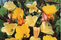 Natlys odorata 'Sulphurea' - gule blomster (Oenothera odorata)