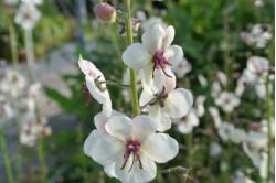 Kongelys White Blush (Verbascum)