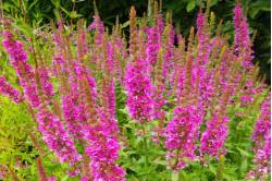 Almindelig kattehale 'Happy Ligths' blandede farver (Lythrum salicaria)