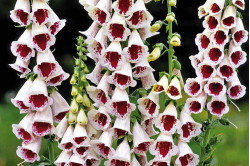 Fingerbøl Cremy White / Burgundy (Digitalis mertonensis)