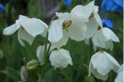 Valmuesøster Superba (Meconopsis betonicifolia)