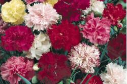 Nellike Grenadin bl. farver (Dianthus)