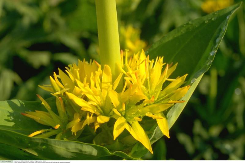 Ensian Yellow Gentian (Gentiana)