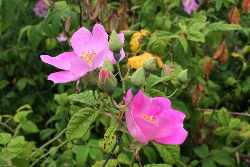 Soløjetræ Tauric Rock Rose (Cistus incanus ssp. tauricus)