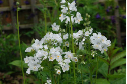 Jacobsstige White Pearl (Polemonium caeruleum f. album)