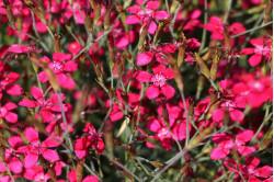 Studenternellike 'Brilland' Confetti Cherry Red (Dianthus deltoides)