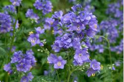 Jacobsstige Blue Pearl (Polemonium caeruleum f. album)